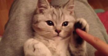 操られる子猫