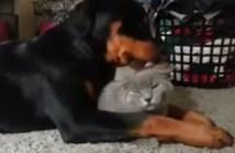 犬の激しいペロペロに耐える猫