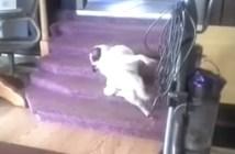 階段で背中をかく犬