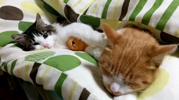 昼寝中の猫を起こそうとする子猫
