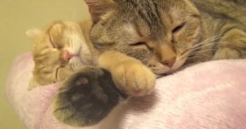 二重腕枕で眠る猫
