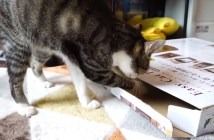 薄い箱に入る猫