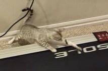 ルームランナーが気になる子猫