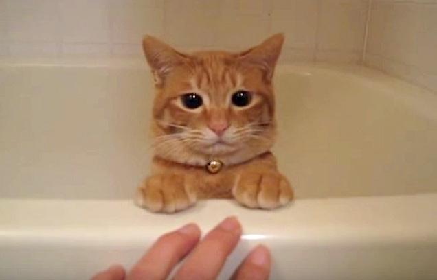 浴槽から顔を出す猫