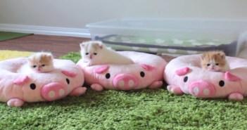 ブタのクッションで遊ぶ子猫