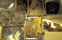 ダンボールで眠る9匹の猫