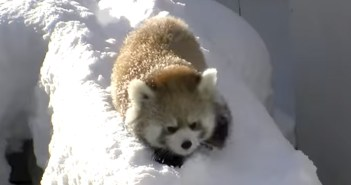 雪で遊ぶレッサーパンダ
