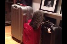 スーツケースに入ろうとした猫