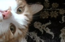 ゴロンとなる猫
