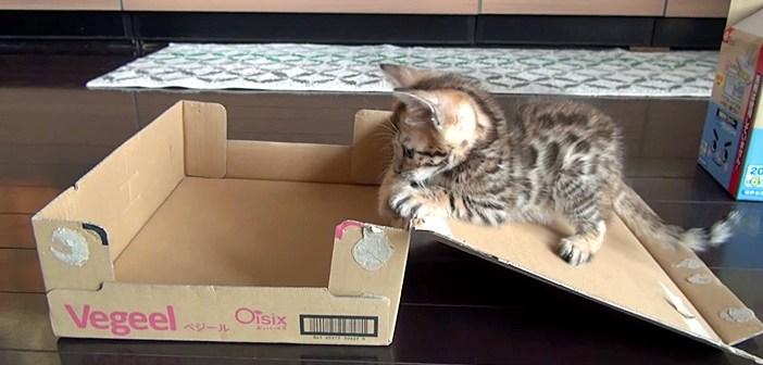 ダンボール箱で遊ぶ子猫