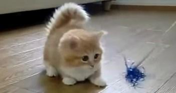 猫じゃらしに追いつけない子猫