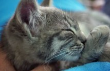 チュパチュパする子猫