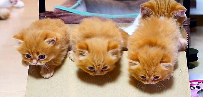 箱から脱走するマンチカン子猫