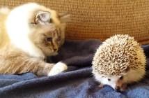 ハリネズミの上にうっかり座ってしまった猫
