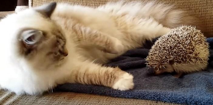 ハリネズミに興味津々の猫