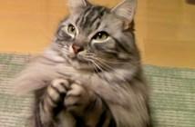 おやつちょうだいする猫