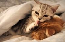 ペロペロする子猫