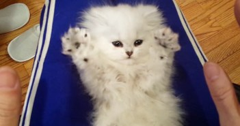 バンザイする子猫