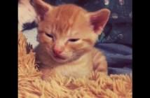 コテンと寝落ちする子猫