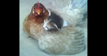 子猫を守るニワトリのお母さん