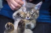 耳掃除されて足をプルプルさせる猫