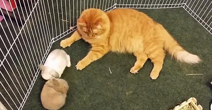 子ウサギを育てる優しい猫さん。愛情いっぱいの毛づくろいに心がホッコリ (*´ω`*)♡