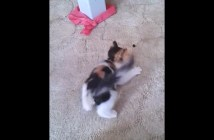 ブルーベリーと戦う子猫