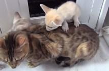 子ギツネを育てる母猫