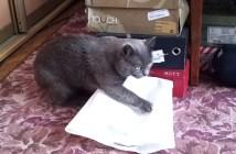 ビニール袋をポムポムする猫