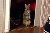 玄関チャイムに反応する猫
