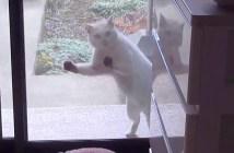 ごめんくださいと訪ねてくるご近所猫
