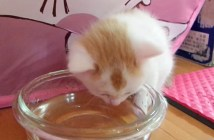 水を飲む子猫