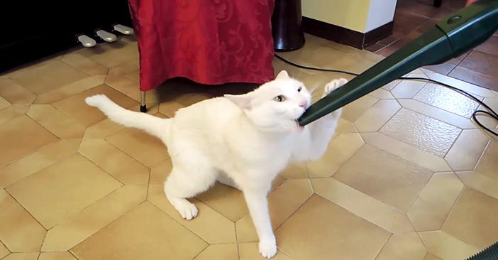 掃除機に吸われるのが大好きな猫
