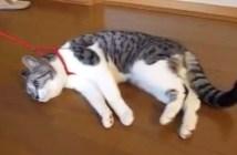 リードをつけると動けないフリをする猫