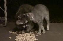 アライグマの食事中にぺったりと甘える猫