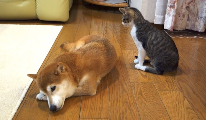 柴犬を見つめる子猫