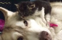 子猫を育てるハスキー犬
