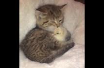 ヒナを毛づくろいする子猫