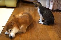 柴犬にそっと毛づくろいする猫