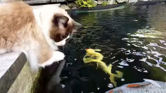 コイを見つめる猫