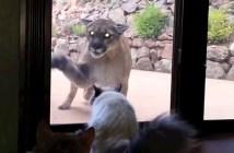 野生のピューマと戯れる猫