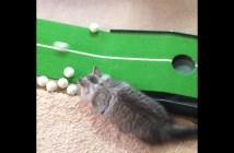 ゴルフの練習を邪魔する猫