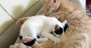 """先住猫のミルクを飲もうと頑張る子猫ちゃん。でも、その猫は """"お父さん"""" だったようで… (^_^;)"""