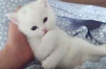 自分の手をペロペロする子猫