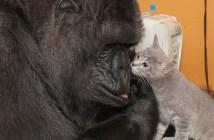 ゴリラと子猫