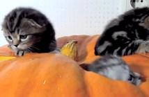 ハロウィーン子猫