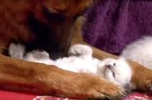 子猫にメロメロのシェパード