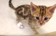 お風呂を味わう子猫