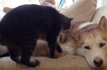 ハスキー犬が大好きな猫