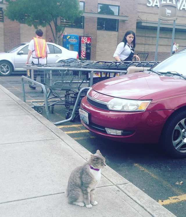 スーパーの駐車場を散歩する猫